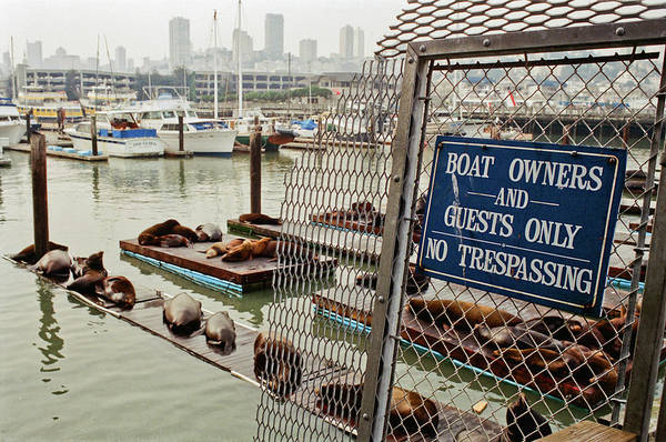 Sea Lions Take Over, San Francisco Art Print