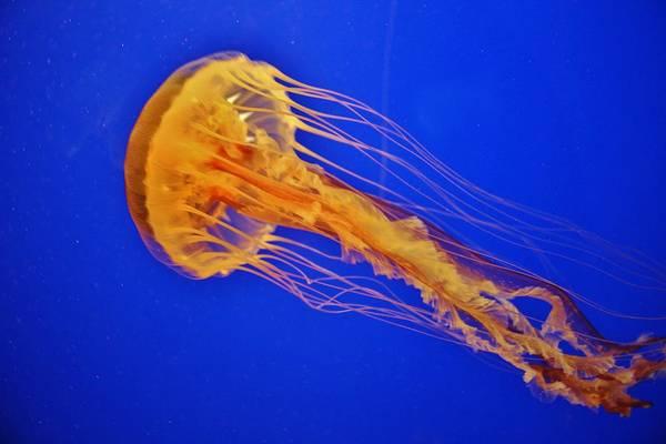 Photograph - Sea Nettle Jellyfish by Cynthia Guinn