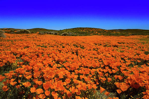 Wall Art - Photograph - Sea Of California Poppies During The Superbloom In The Antelope  by Bridget Calip