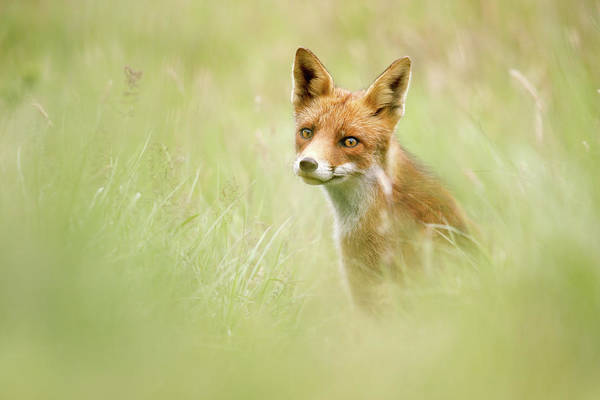 Close Encounters Wall Art - Photograph - Sea Of Green - Red Fox In The Grass by Roeselien Raimond
