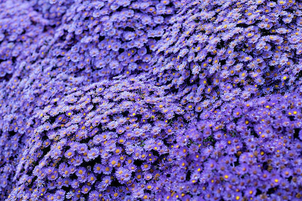 Photograph - Sea Of Lavender Flowers by Todd Klassy
