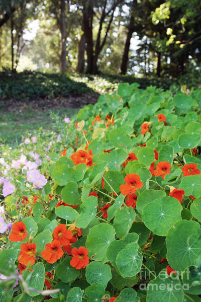 Photograph - Sea Of Nasturtiums by Cindy Garber Iverson