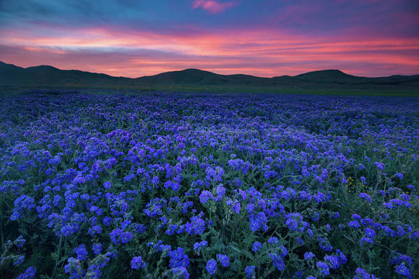 Wall Art - Photograph - Sea Of Phacelia At Sunrise, Carrizo Plain National Monument by Bridget Calip