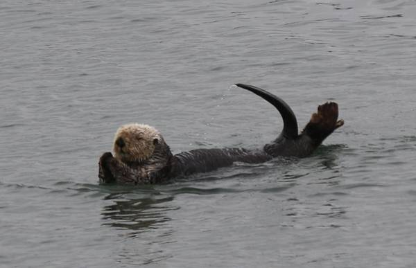 Photograph - Sea Otter - 2 by Christy Pooschke