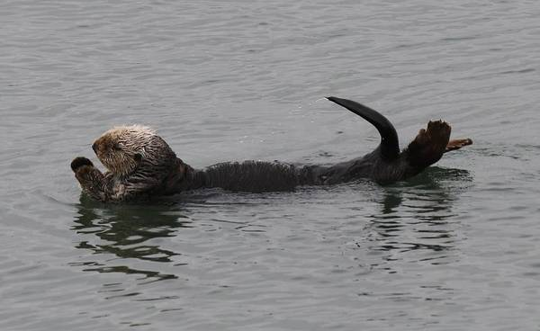 Photograph - Sea Otter - 4 by Christy Pooschke
