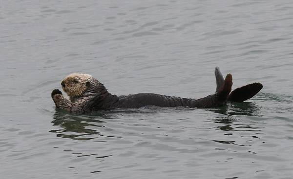 Photograph - Sea Otter - 5 by Christy Pooschke