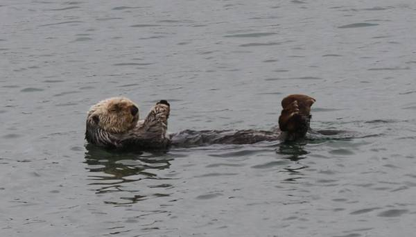 Photograph - Sea Otter - 6 by Christy Pooschke