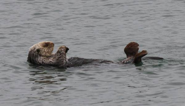 Photograph - Sea Otter - 8 by Christy Pooschke