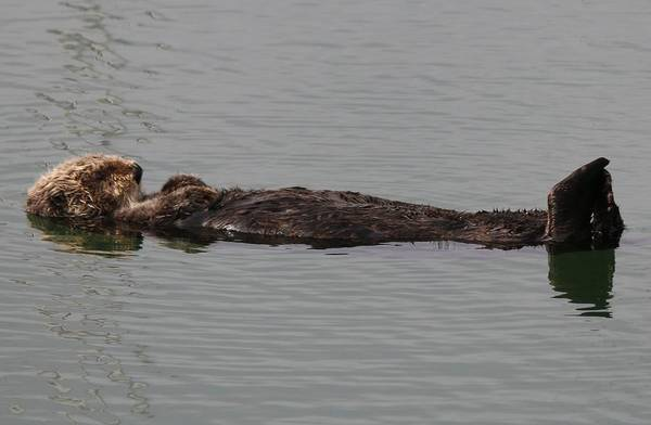 Photograph - Sea Otter  by Christy Pooschke