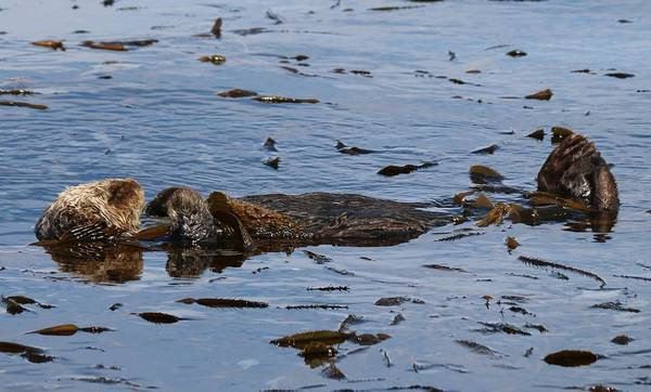 Photograph - Sea Otter Dreams  by Christy Pooschke