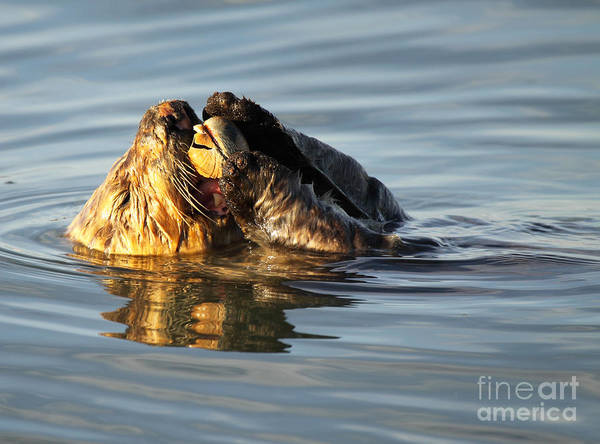 Wall Art - Photograph - Sea Otter Eating Clam by Max Allen