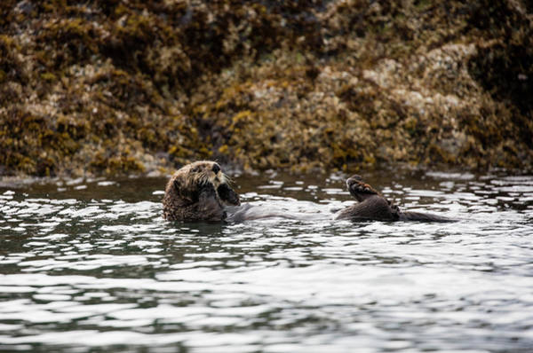 Photograph - Sea Otter Floating In The Bay by Gloria Anderson