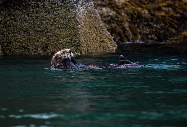 Photograph - Sea Otter by Gloria Anderson