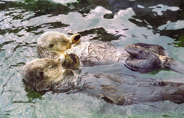 Holding Wall Art - Photograph - Sea Otters Holding Hands by BuffaloWorks Photography