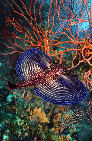 Hawaiian Fish Photograph - Sea Robin The Flying Gurnard by Debra and Dave Vanderlaan