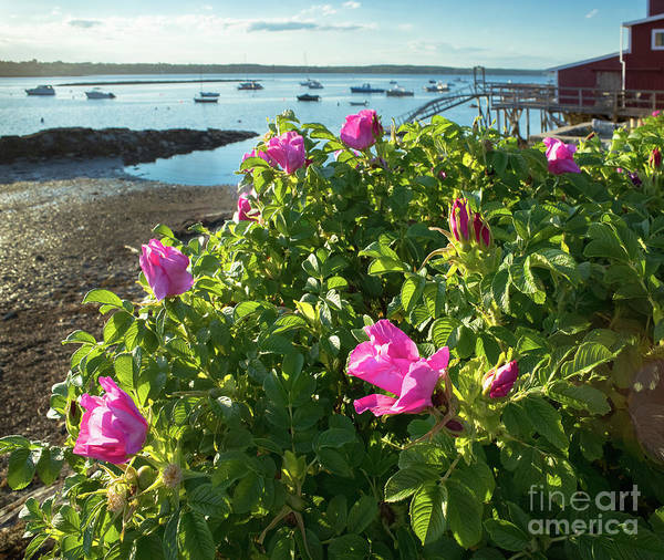Photograph - Sea Roses, Orrs Island, Harpswell, Maine #130261 by John Bald