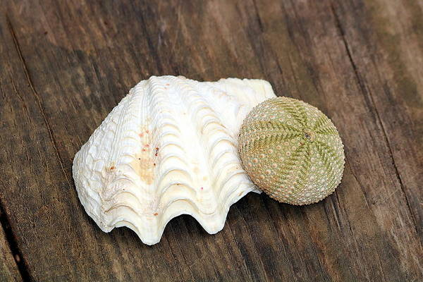 Photograph - Sea Shell And Sea Urchin by Sheila Brown