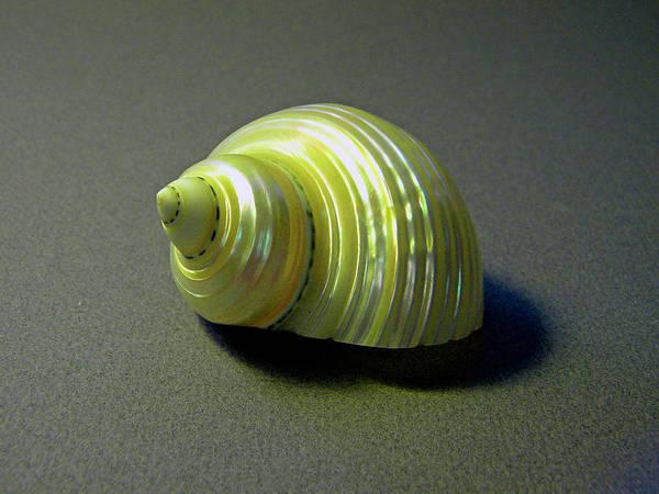 Photograph - Sea Shell Turbo Marmoratus by Frank Wilson