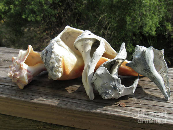 Photograph - Sea Shells by Roberta Byram