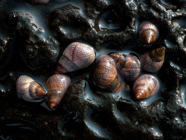 Crevice Photograph - Sea Snails by Christopher Johnson