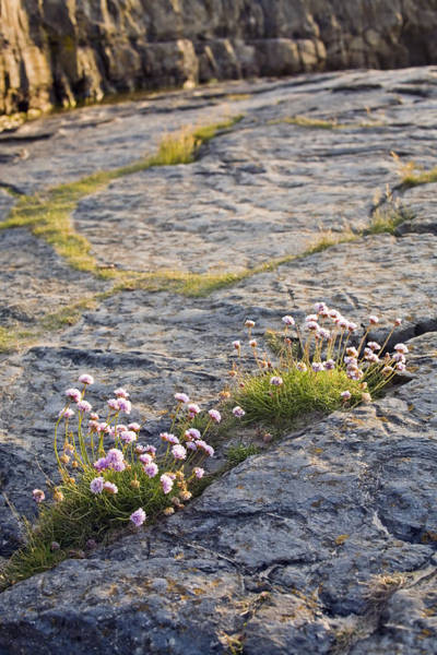 Northumbria Photograph - Sea Thrift by David Taylor