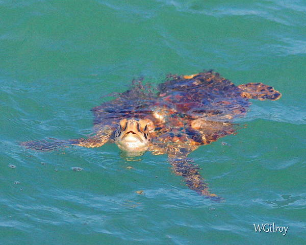 Hawksbill Turtle Photograph - Sea Turtle / Cocoa Beach by W Gilroy