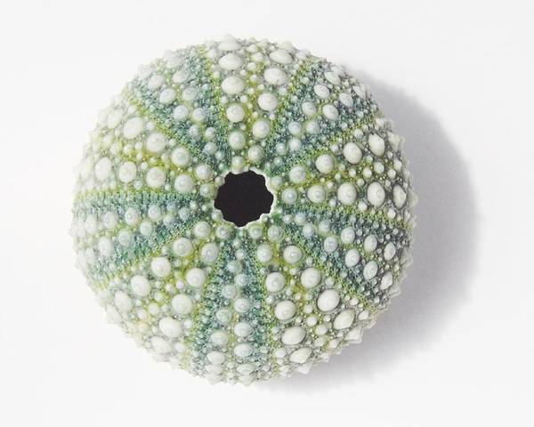 Photograph - Sea Urchin by Jocelyn Friis