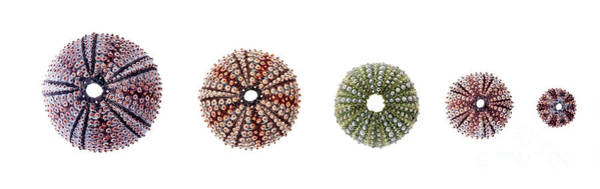 Wall Art - Photograph - Sea Urchins Of Various Sizes by Elena Elisseeva