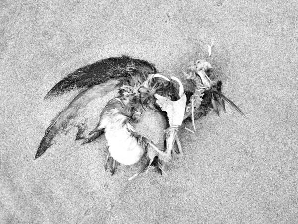Photograph - Seabird Fatalities-1 by Tarey Potter