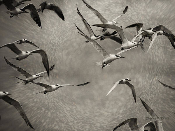 Photograph - Seabirds In Whirl by Charles McKelroy