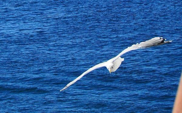 Photograph - Seagull 1 by John Hartman