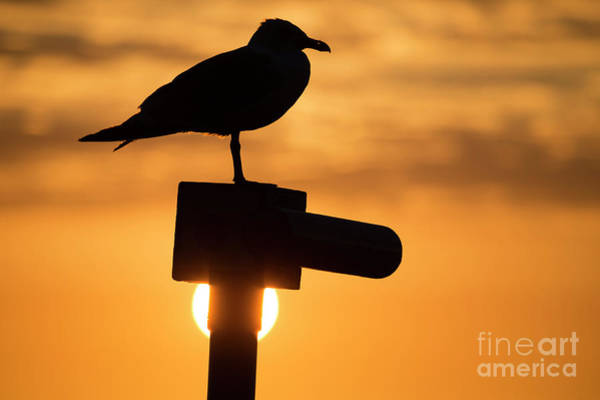 Seagull At Sunset Art Print