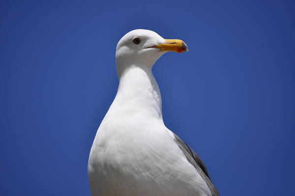 Photograph - Seagull by Bridgette Gomes