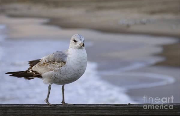 Photograph - Seagull by Debra Fedchin