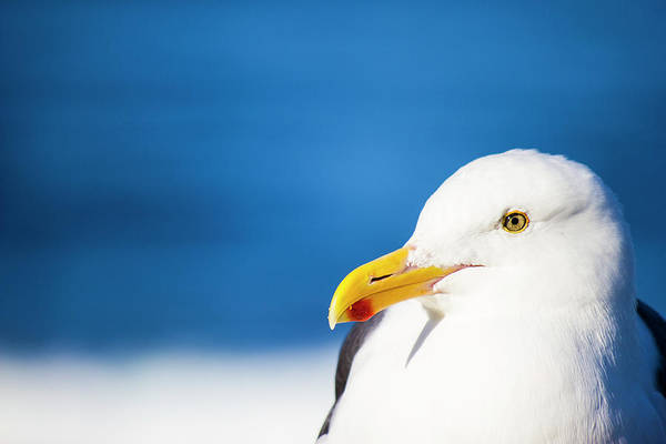 Wall Art - Photograph - Seagull Face Profile Close Up by Lawrence Matez