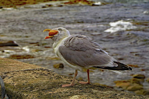 Photograph - Seagull Feeding by Tony Murtagh
