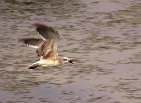 Photograph - Seagull Flight by Buddy Scott