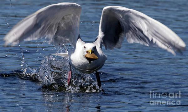 Photograph - Seagull Flight by Sue Harper