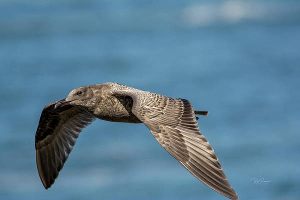 Photograph - Seagull Flyby by Bill Posner