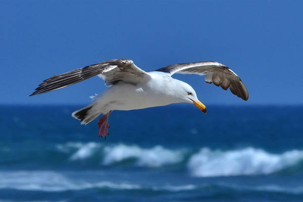 Photograph - Seagull In Flight by Anthony Murphy