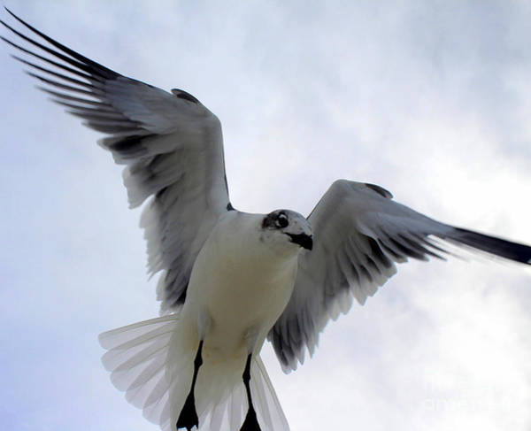 Photograph - Seagull In Flight I by Jeanne Forsythe
