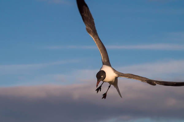 Photograph - Seagull In Flight by Willard Killough III