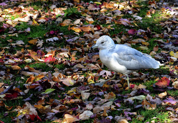Wall Art - Photograph - Seagull In The Fallen Leaves by Maria Keady
