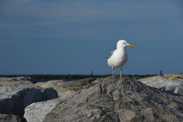 Photograph - Seagull by Jennifer Ancker