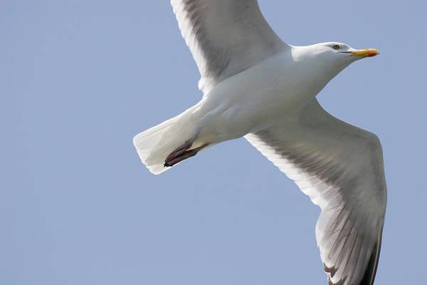 Photograph - Seagull by Jill Lang