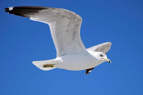 Photograph - Seagull by Ludwig Keck
