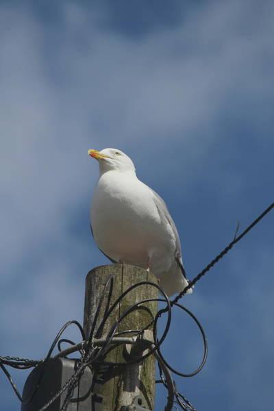 Seagull Perching. Art Print