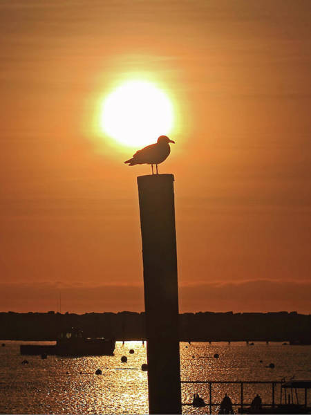 Photograph - Seagull On A Post by Brian Pflanz
