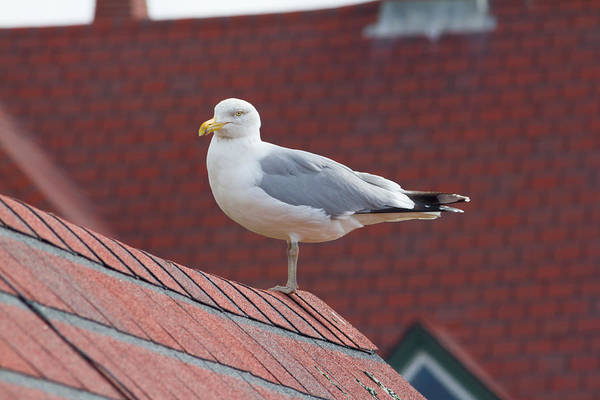 Photograph - Seagull On Red Roof by Kirkodd Photography Of New England