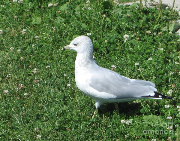 Photograph - Seagull On The Clover by Kathie Chicoine